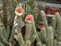 Use a Hoodia Supplement For Weight Loss
